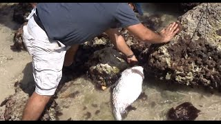 Giant PUFFER FISH Rescue! PORCUPINEFISH!