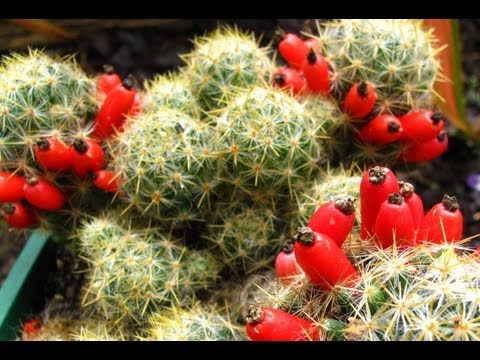 Fruiting Cacti Plants   Tasting &amp  Growing