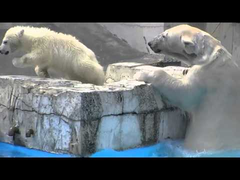 子育ては大変 ホッキョクグマ~Polar Bear Mother,The child care is tired