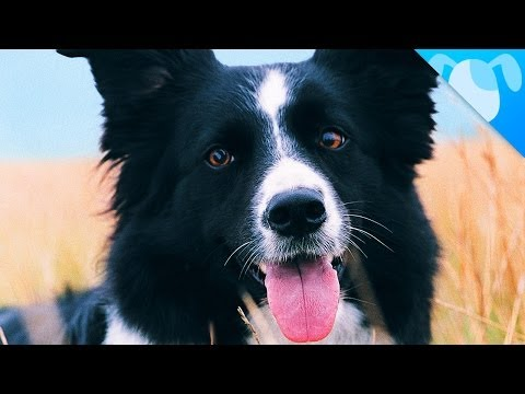 Border Collie Facts