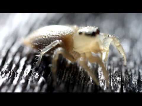 I was filming this little jumping spider when he decided to jump on my camera lens.