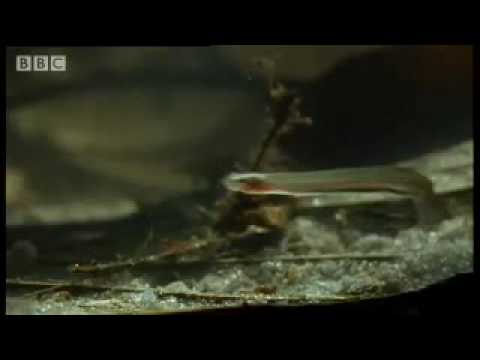 Horror story: Candiru: the Toothpick Fish - Weird Nature - BBC animals Video