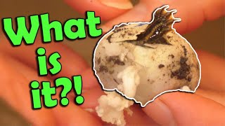 Baby *Mystery* Turtles Hatching and Released!