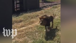 Lion attacks owner who raised him