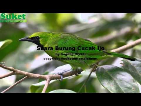 Download Suara Burung Cucak Ijo Mp3 video