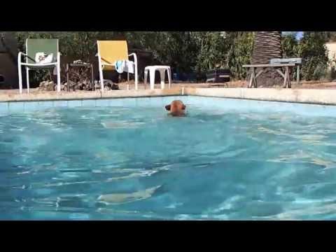Bulldog francés experto nadador