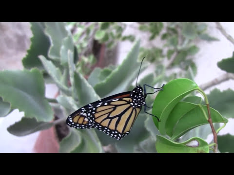 Monarch Mania! Monarch Butterfly Life Cycle