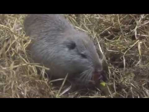 Video: Rodney the giant rat