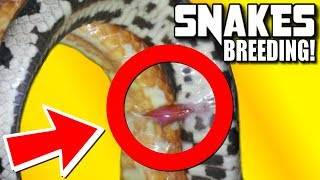 WHAT SNAKES LOOK LIKE WHEN THEY ARE BREEDING!!! | BRIAN BARCZYK