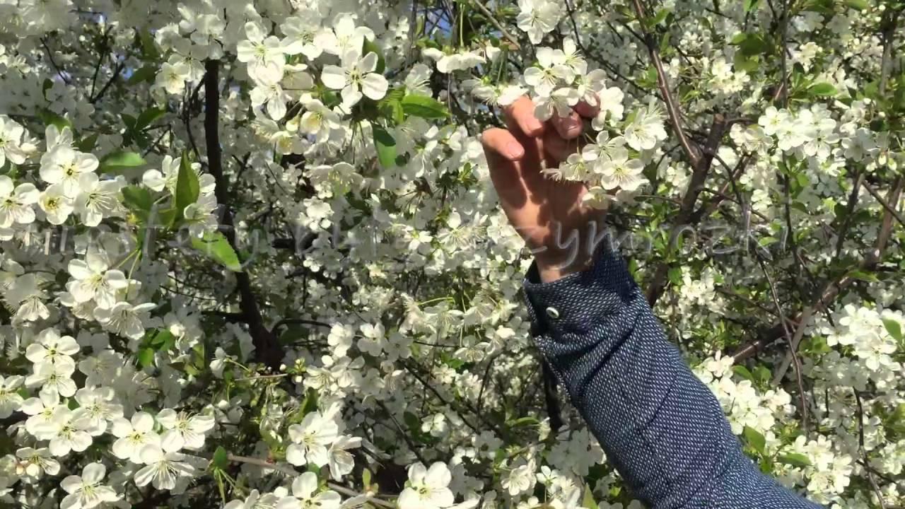forum sadownicze, uprawa wiśni