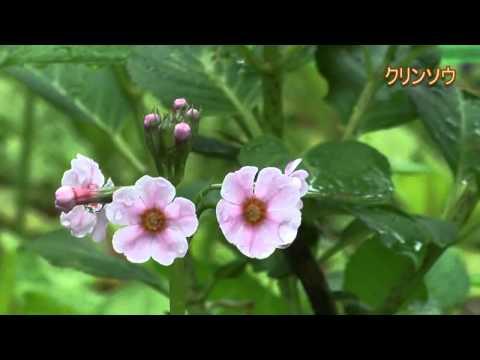 高山市 「花の森 四十八滝山野草花園」 ~クリンソウ・ササユリ~