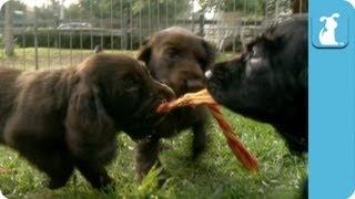 Adorable Field Spaniel Puppies - Puppy Love