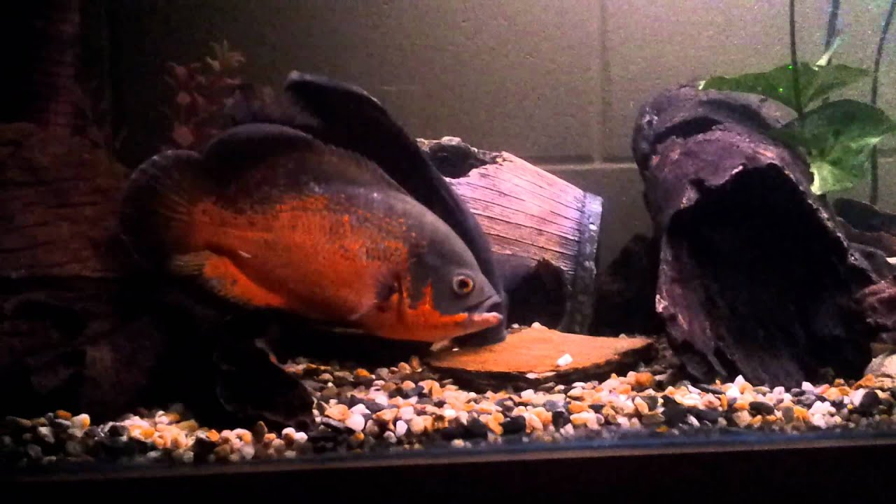 Oscar fish pairing up and demonstrating pre spawn for What is an oscar fish
