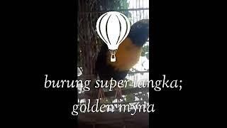 Download Lagu Burung langka. Endemik Papua. Golden myna kicauan dahsyat #5 Gratis STAFABAND