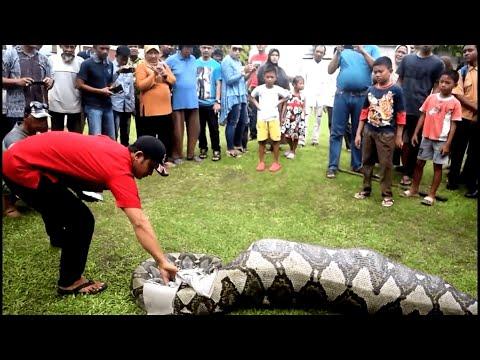Ular Piton sepanjang 6 m di halaman Mapolrest Kota Sabang Jum'at 16 desember 2016
