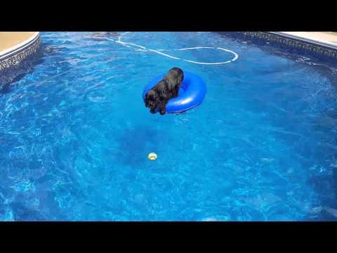 Un inteligente cocker rescata su pelota de la piscina con la ayuda de un flotador