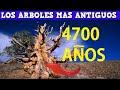 Los 5 Arboles Mas Antiguos Del Mundo