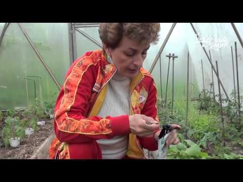 """Подготовка почвы в теплице. Как применять Фитоспорин. Сайт """"Садовый мир"""""""