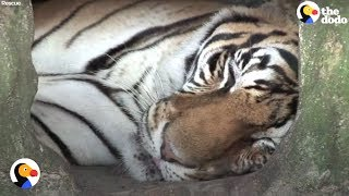 Tiger Caged at Truck Stop For 17 Years Needs YOUR Help | The Dodo
