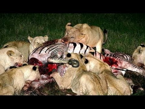 What do white lions eat - photo#12