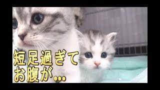 【猫好き】短足過ぎて、お腹が…(マンチカン)《funny cats》