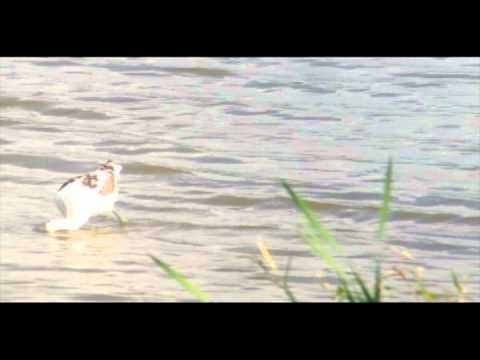 American Avocet-- Somerset Lake, PA