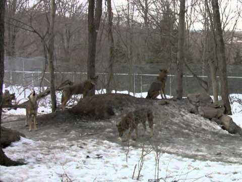 Red Wolf Pack Howling video