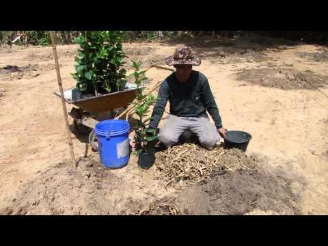 การปลูกมะนาวแป้นพิจิตร1บนดิน