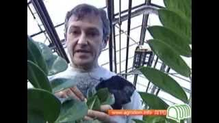 Денежное дерево пересадка в домашних условиях видео