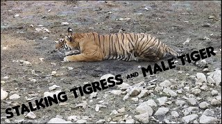 Ranthambore Tiger Sighting : T39(Noor) Stalking while followed by a Male