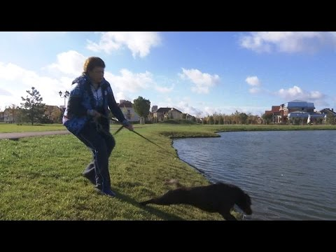 Как отучить собаку тянуть поводок(Лабрадор)