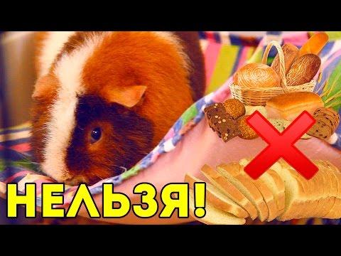 Что НЕЛЬЗЯ есть морским свинкам: ЗАПРЕЩЕННЫЕ ПРОДУКТЫ / Свинки шоу / SvinkiShow