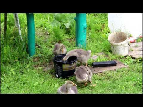 Сельские будни: огород/разведение гусей и кроликов. VLOG! Countryside.