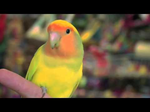 Exotic Birds: Love Birds video