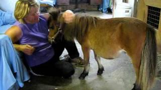 Cheval super miniature pour Zoothérapie Ranch BBSM