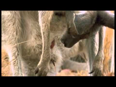 Parto de canguro.  Attenborough - Life of Mammals