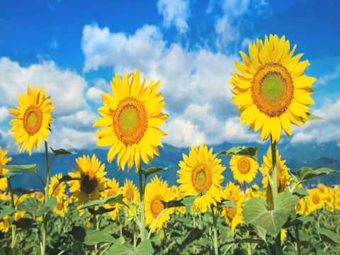 Glen Campbell - Sunflower