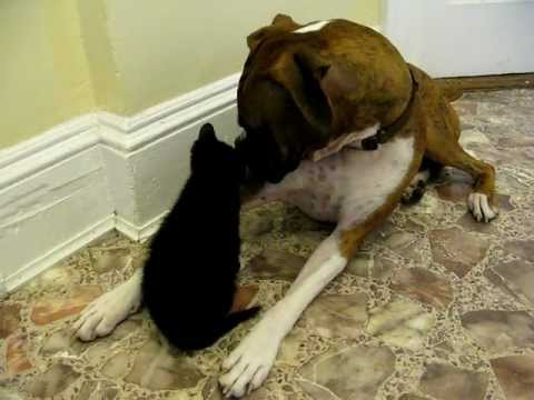 Boxer meets Kitty Boy. Too Cute!