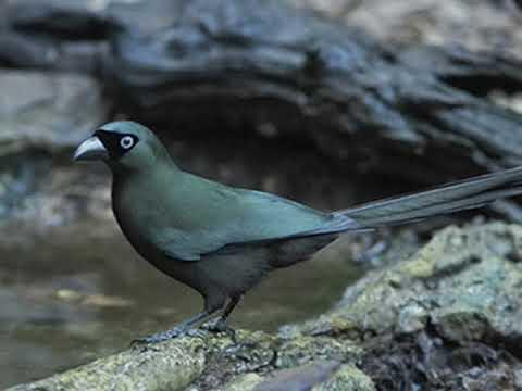 Burung Murai Irian Gacor