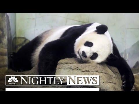 Panda-monium: Why the Twin Pandas Cubs Are Reason to Celebrate   NBC Nightly News