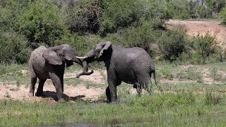 Angry Male Elephants Fight Over Females