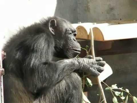 チンパンジーの食事 @東山動物園