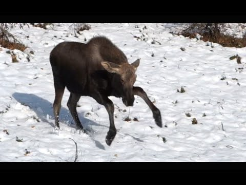 CUTE DANCING MOOSE! - Living in Alaska 49
