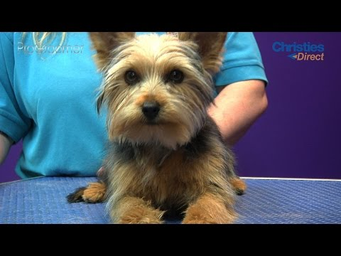 Grooming Guide Yorkshire Terrier Puppy Trim Pro Groomer