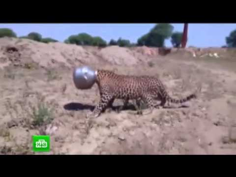 Индия, курьёзы. Леопард застрял в горшке. Животное мучилось жаждой. Новости мира сегодня.