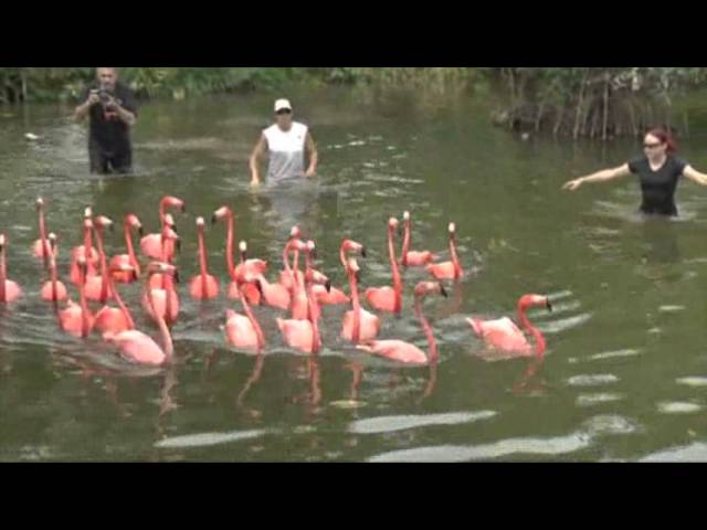 Flamingo Frenzy Ahead of Zoo Construction
