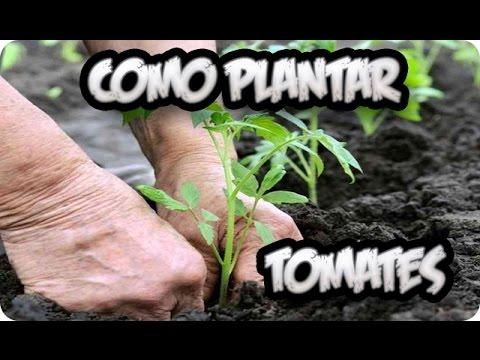 Como plantar tomates huerto organico la huertina de - Que plantar en el huerto ...
