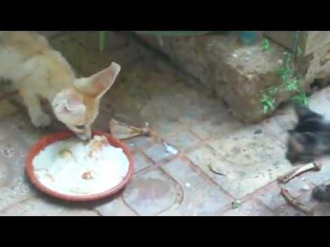 Omarsmaili1 - هكذا يلعب قططي مع فنكي