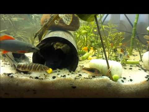 Tropical Freshwater Fish Eating Vegetables