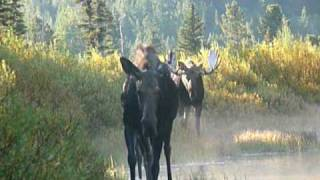 Cow and calf moose walk right by me followed by bull - Glacier National Park (Sept.
